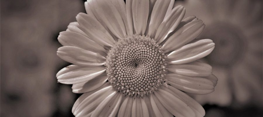 Flower Sepia Goodbye Bereavement  - pasja1000 / Pixabay